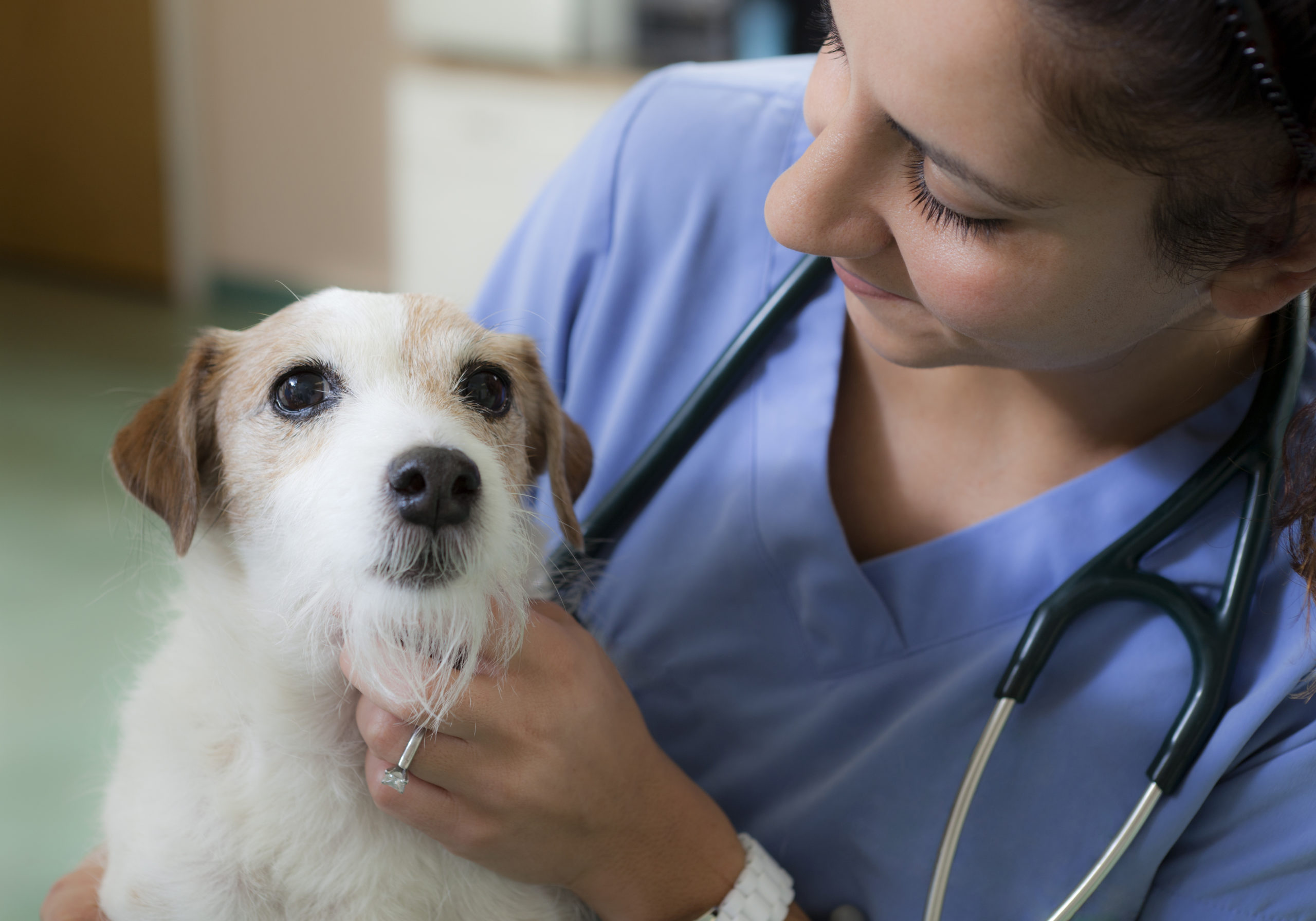 Vet with wire haired Jack Russell